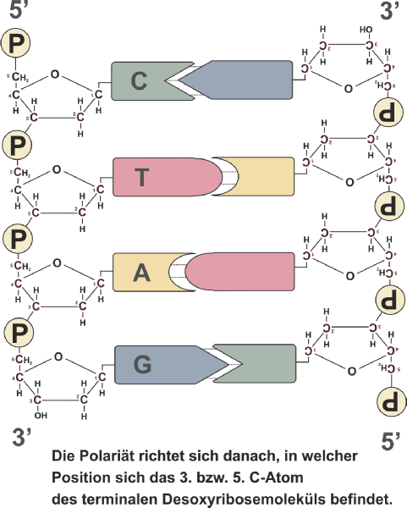 Fantastisch DNA Basenpaarung Arbeitsblatt Antworten Ideen ...