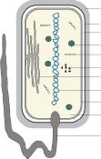 Bakterienzelle